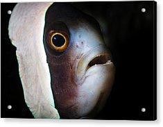 Saddleback Anemonefish Acrylic Print by Ethan Daniels
