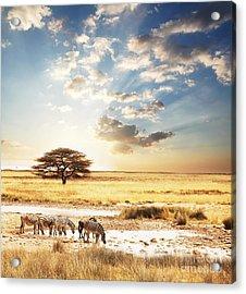 Safari Acrylic Print by Boon Mee
