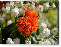 Safflower Amongst The Gypsophilia Acrylic Print