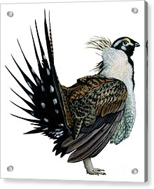 Sage Grouse  Acrylic Print by Anonymous