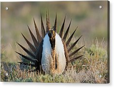 Sage Grouse, Courtship Display Acrylic Print