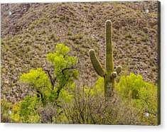 Acrylic Print featuring the photograph Saguaro And Cottonwood by Beverly Parks