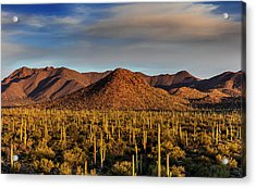 Saguaro Cactus Dominate The Landscape Acrylic Print by Chuck Haney