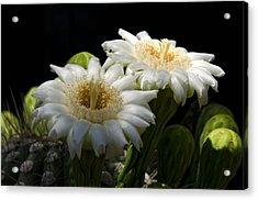 Saguaro Cactus Flowers  Acrylic Print by Saija  Lehtonen