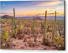 Saguaro Cactus Forest In Saguaro National Park Arizona Acrylic Print by Benedek