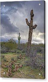 Saguaro Ending Acrylic Print