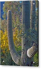 Saguaro Fall Color Acrylic Print by Tam Ryan