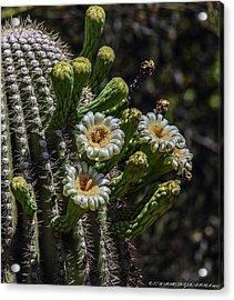 Acrylic Print featuring the photograph Saguaro Flowers by Elaine Malott