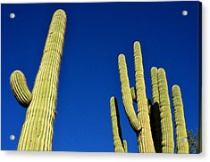 Saguaro National Forest Tucson Az Acrylic Print by Diane Lent