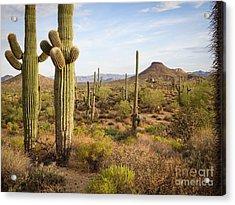 Saguaro Twins Acrylic Print