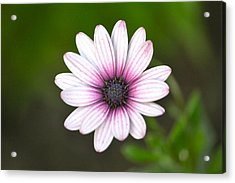 Sailor Boy Daisy Acrylic Print by Dave Woodbridge