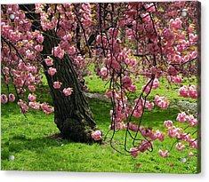 Sakura Blossom Acrylic Print by Yue Wang