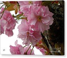 Sakura Acrylic Print by Laura Yamada