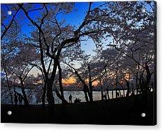 Sakura's Twilight Acrylic Print by SCB Captures