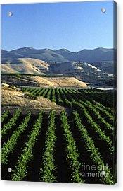 Salinas Valley Vineyard Acrylic Print