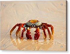 Sally Lightfoot Crab Acrylic Print