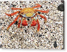Sally Lightfoot Crab Acrylic Print by Sue Ford/science Photo Library