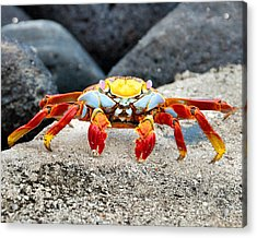 Sally Lightfoot Crab Acrylic Print by William Beuther