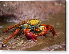 Sally Lightfoot Feeding Acrylic Print