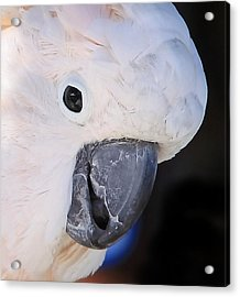 Salmon Crested Cockatoo Smiling Close Up Acrylic Print by  Andrea Lazar