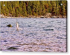 Salmon Jumping In The Ocean Acrylic Print