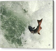 Salmon Run 2 Acrylic Print by Mamie Gunning