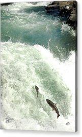 Salmon Run 4 Acrylic Print by Mamie Gunning