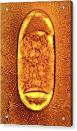 Salmonella Typhimurium Bacterium Acrylic Print by Peter Cooke, Lenier Tucker/us Department Of Agriculture