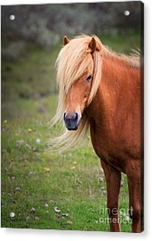 Acrylic Print featuring the photograph Salon Perfect Pony by Peta Thames
