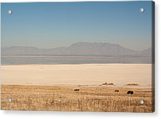 Salt Lake Bison Acrylic Print
