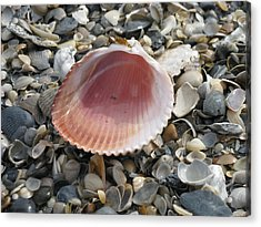 Salt Water Cockle Acrylic Print