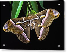 Samia Cynthia Silk Moth Acrylic Print by Robert Jensen