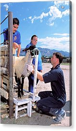 Sampling Sheep For Scrapie Test Acrylic Print by Stephen Ausmus/us Department Of Agriculture