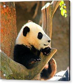 San Diego Zoo Panda Bear Xiao Liwu Acrylic Print