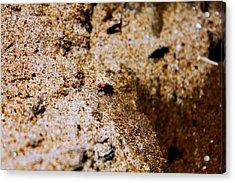 Sand Critter Acrylic Print by Sheryl Burns