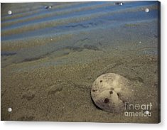 Sand Dollar Findings Acrylic Print