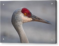 Acrylic Print featuring the photograph Sand Hill Crane Portrait by Sabine Edrissi
