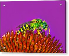 Sand Wasp Acrylic Print by Marion Johnson