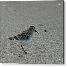 Sanderling No 2 Acrylic Print