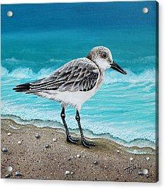 Sanderling Acrylic Print