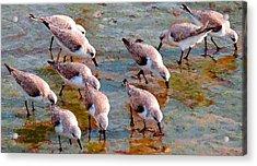 Sanderlings At Alamitos Bay Acrylic Print by Timothy Bulone