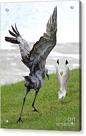 Sandhill Chasing Ibis Acrylic Print by Carol Groenen