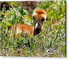 Acrylic Print featuring the photograph Sandhill Chick 005 by Chris Mercer