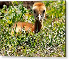 Acrylic Print featuring the photograph Sandhill Chick 006 by Chris Mercer