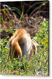 Acrylic Print featuring the photograph Sandhill Chick 008 by Chris Mercer