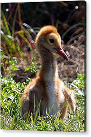 Acrylic Print featuring the photograph Sandhill Chick 009 by Chris Mercer