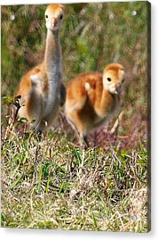 Acrylic Print featuring the photograph Sandhill Chicks by Chris Mercer