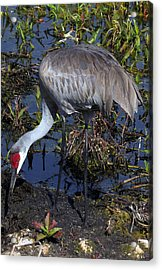 Sandhill Crane 035 Acrylic Print