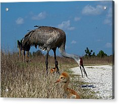 Acrylic Print featuring the photograph Sandhill Crane 038 by Chris Mercer