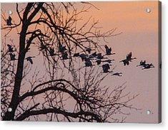 Sandhill Crane Across The Sky Acrylic Print by Jill Bell
